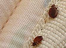 getting rid of bed bug
